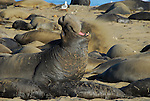 Northern elephant seal bull trumpets in harem