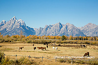 67545-09520 Horses and Grand Teton Mountain Range in fall, Grand Teton National Park, WY