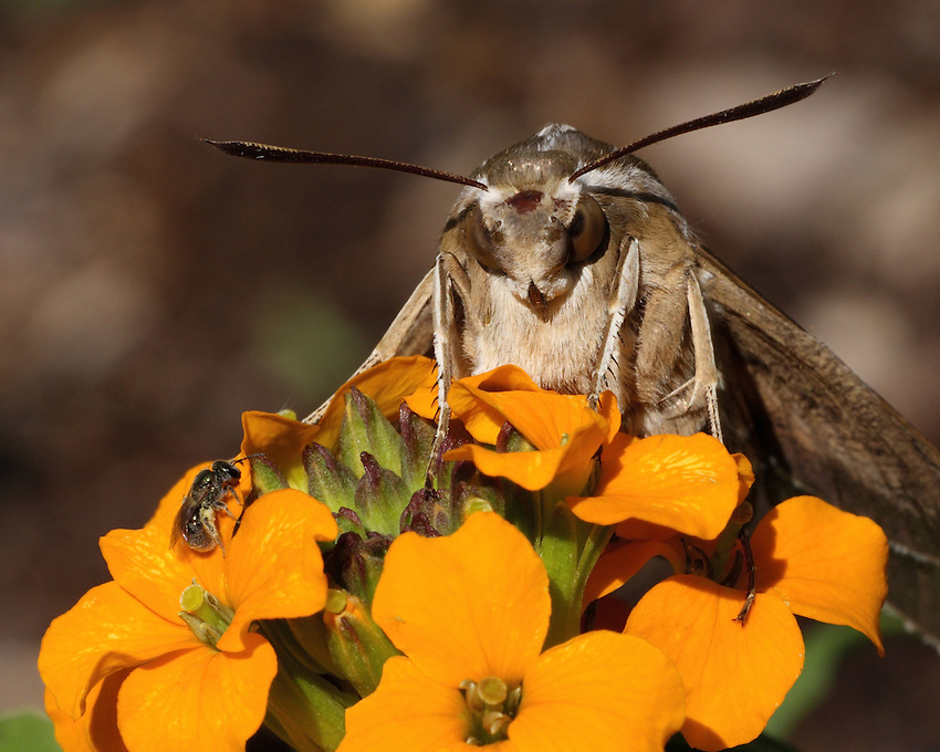 Corn Earworm Moth portrait (Helicoverpa zea) and small miner bee.