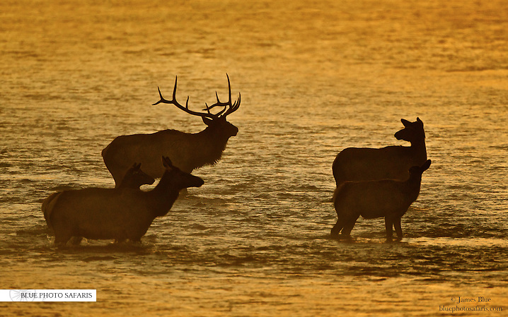 Bull elk and his harem crossing a river at sunrise