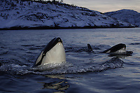 Killer whale Orcinus orca calves spyhopping at dusk Tysfjord, Arctic Norway