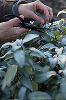 Salbei, Garten-Salbei, Küchensalbei, Gartensalbei, Kräuterernte, Räucherkräuter, Küchenkräuter, Salvia spec., Sage, Garden sage