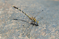 389030032 a wild male gray sanddragon progomphus borealis perches on a large rock in the obelisk position in a stream at jewel of the creek conservation area maricopa county arizona
