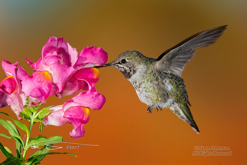 Hummingbird on Snapdragon ©2017 James D Peterson.