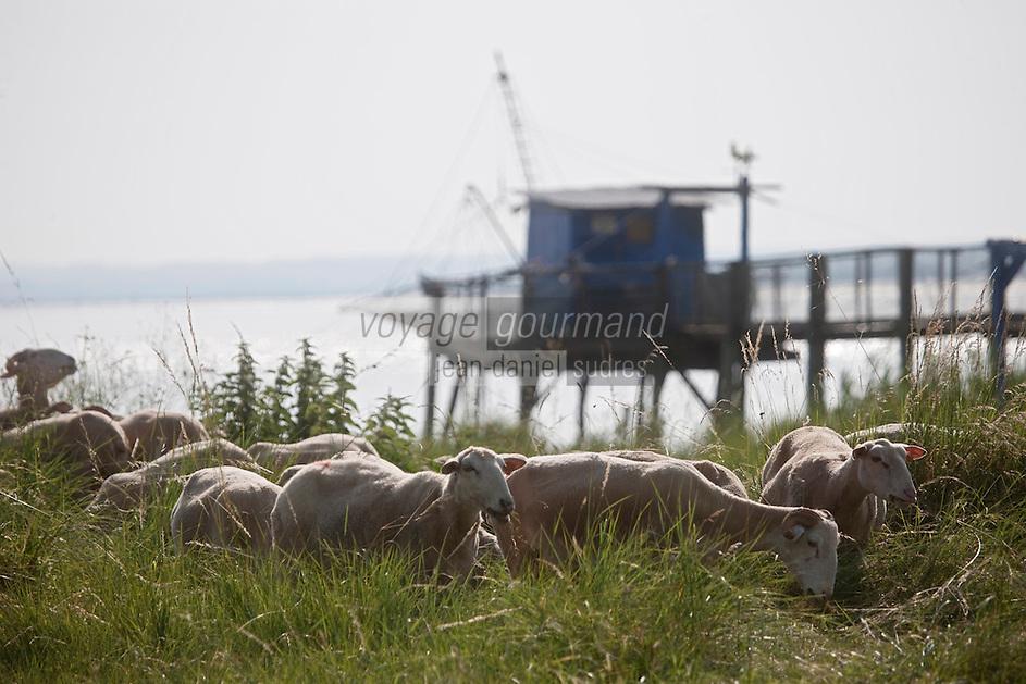 Europe/France/Aquitaine/33/Gironde/Saint-Yzans-de-Médoc: Carrelet et troupeau agneaux de Pauillac  de Cedric Perez,