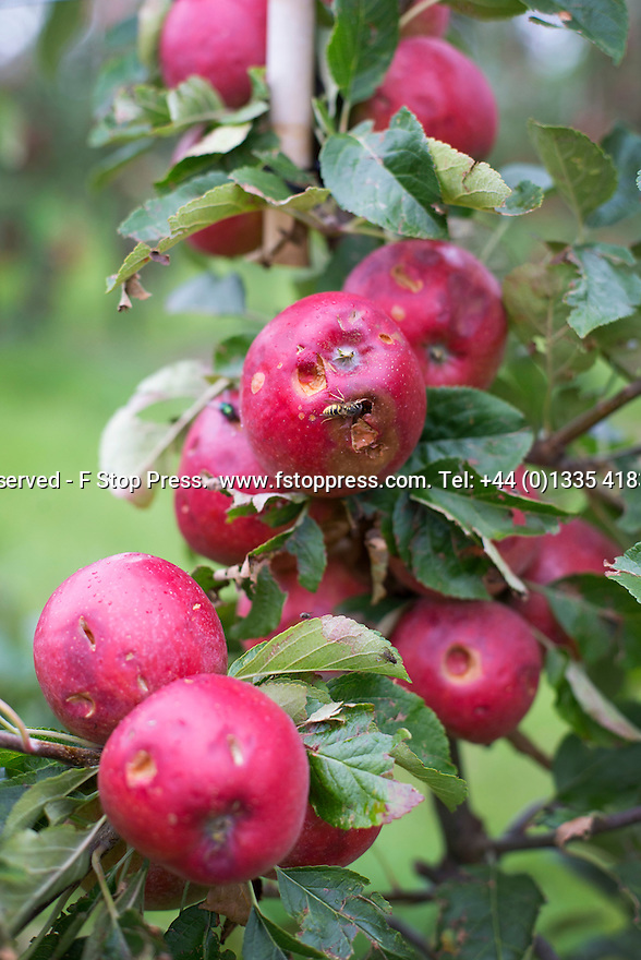 30/08/15<br /> <br /> If you're disappointed that the weather has ruined your Bank Holiday Weekend, then spare a thought for one apple grower whose entire crop of eating apples has been wiped-out by a freak hailstorm that lasted for a mere four minutes.<br /> <br /> Full story here: <br /> <br /> http://www.fstoppress.com/articles/hailstorm-ruins-apple-orchard/<br /> <br /> <br /> All Rights Reserved - F Stop Press.  www.fstoppress.com. Tel: +44 (0)1335 418365 +44(0)7765 242650