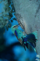 European Roller, Coracias garrulus, adult at nesting cavity, Camargue, France, May 1993