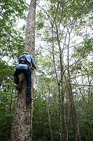 Equipe do programa Germoplasma da ELN, coleta sementes na copas das árvores.<br /> <br /> O Programa de Germoplasma Florestal de Tucuruí vai coletar, tratar e conservar material genético florestal para uso imediato ou futuro.  Germoplasma é qualquer parte da planta (folha, célula, galho, semente) que permite a reprodução.  As sementes podem ser usadas para recuperação de áreas degradadas, projetos de pequenos produtores e até para reflorestamento em larga escala.<br /> <br /> Tucuruí, Pará, Brasil.<br /> Foto Paulo Santos.<br /> 28/08/2013