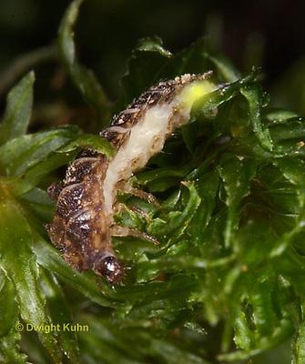 1C24-908p  Firefly larva glowing - Glowworm - Photuris spp.