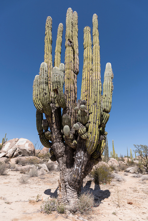 Catavina, Baja California, Mexico; a massive Cardon Cactus in the rocky desert