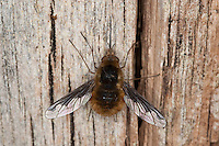 Hummelschweber, Großer Wollschweber, mit langem Saugrüssel, Bombylius major, beeflies, beefly