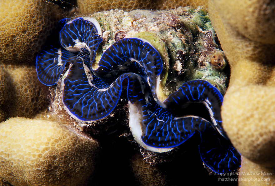 Moorea, French Polynesia; a blue Giant Clam (Tridacna maxima) nestled into the coral reef , Copyright © Matthew Meier, matthewmeierphoto.com All Rights Reserved