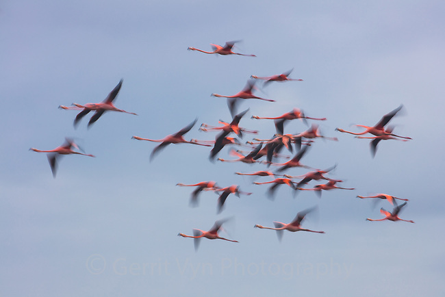 American Flamingo (Phoenicopterus ruber) flock in flight. Yucatan, Mexico.