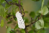 Weiße Tigermotte, Punktierter Fleckleib-Bär, Breitflügeliger Fleckleibbär, Minzenbär, Spilosoma lubricipeda, Spilosoma menthastri, Spilosoma lubricipedum, white ermine moth, white ermine, l'Écaille tigrée, Bärenspinner, Arctiidae, Arctiinae, erebid moths, erebid moth, woolly bears, woolly worms