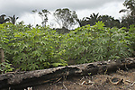 "Cassava plants growing in ""slashed and burned"" jungle terrain in the village of Bigiston on the Marowijne River, Suriname."