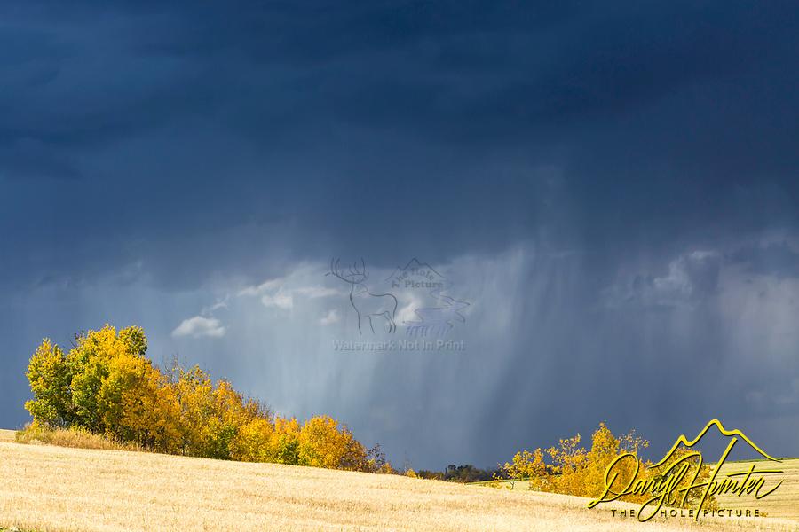 Autumn thunderstorm, golden aspens, pouring rain, Teton Valley Idaho