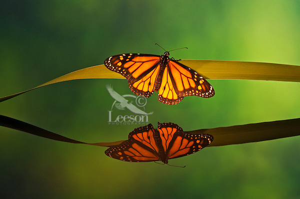 Monarch butterfly (Danaus plexippus) reflection.