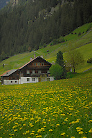 Austrian homes amongst the daisy field. Imst district, Tyrol, Austria.