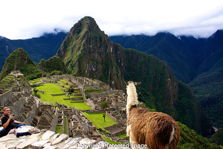 Llama overlooking the ruins at Machupicchu.