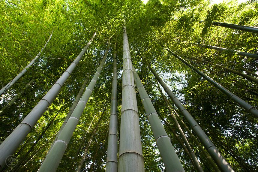 Bamboo Grove, Kawasaki, Japan