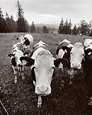 FRANCE, Val-de-Travers, Creux du Van Canyon, cows standing in the rain in the countryside, Jura Wine Region