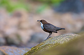 White-throated Dipper (Cinclus cinclus) perched on rock with caddisfly in the beak. Dippers have a remarkable way to catch food in a niche area. They are able to dive under water readily at will and walk along the bottom in search of caddis fly larva and other food.