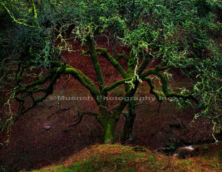 """Oak tree, Mendocino Coast   CALIFORNIA"""