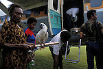 A cockatoo being transported out of the forests of West  Papua New Guinea back  to Jakarta, Indonesia to be  fed into the  trade for rare birds around the world.