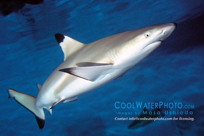 blacktip reef shark (c), .Carcharhinus melanopterus, .Indo-Pacific Ocean.