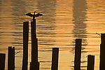 Silhouetted Cormorant on pilings on Elliott Bay at sunrise Seattle Washington State USA