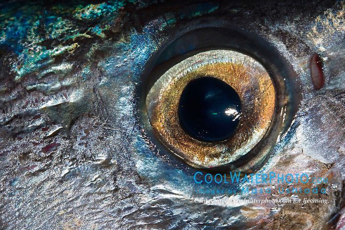Eye of a Wahoo, Pacific Kingfish or Ono in Hawaiian, Acanthocybium solandri, off Kona Coast, Big Island, Hawaii, Pacific Ocean.
