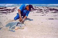 biologist attaches metal tag to flipper of nesting Kemp's ridley sea turtle, Lepidochelys kempii ( endangered ), Rancho Nuevo, Mexico ( Gulf of Mexico ), Atlantic Ocean
