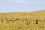 Eastern Grey Kangaroo (Macropus giganteus) mob of females in grassland, Mount Taylor Nature Reserve, Canberra, Australian Capital Territory, Australia