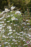 Summer border at Haddon Hall with leucanthemum, roses and deschampsia