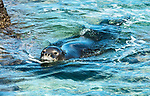 he Hawaiian monk seal is one of the most endangered species on the planet - only about 1,200 are estimated to be in existence. <br /> Adults can weigh up to about 450 pounds.