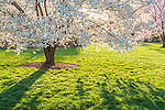 Washi-No-O Cherry blossoms at the Arnold Arboretum in Jamaica Plain, Boston, Massachusetts, USA