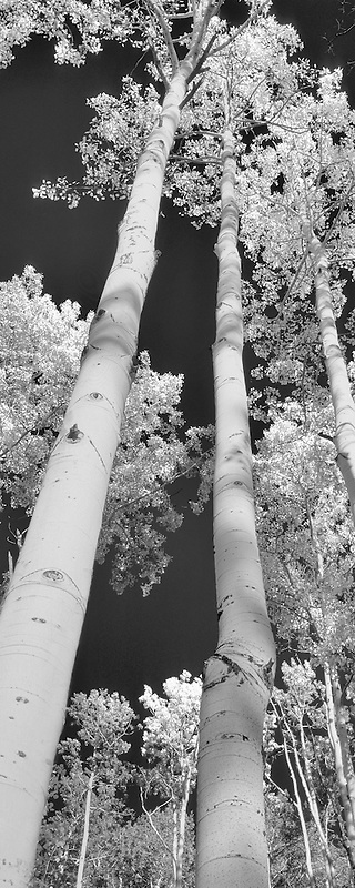 Looking up into grove of fall colored aspen trees. San Juan Mountains; Colorado