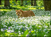 Longleat lions go wild in the garlic.
