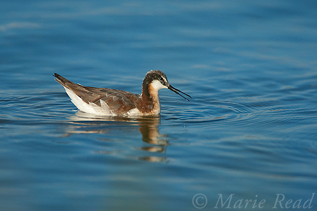 Wilson's Phalarope (Phalaropus tricolor), female feeding by using surface tension of water to pick up small prey item (probably brine shrimp), while swimming, Mono Lake, California, USA