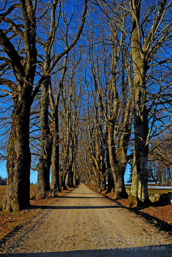 Long row of leafless trees vanish at the end of a gravel road