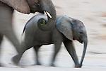 Namibia;  Namib Desert, Skeleton Coast, desert elephant (Loxodonta africana) mother and calf walking, motion blur