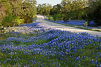 Spring Bluebonnets (Lupinus), surround an old country road CR in Llano, Texas, USA