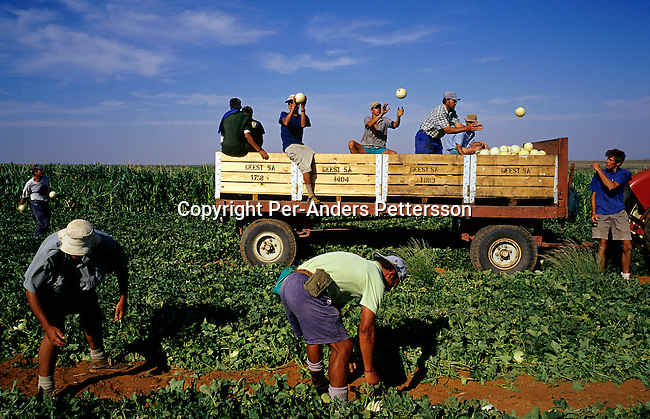 White farm workers pick melons during harvesting in Orania, an all white Afrikaner community on January 16, 2003 in Orania, in the Northern Cape province, South Africa. Many young men and some girls from all over SA comes to Orania to work hard for a while. They make about 150 Euros a month working 6-7 days a week. The village was founded in 1991 and bought by descendants of Hendrik Verwoerd, the architect of Apartheid. It has a population of 600 and only white people can live in the village. ......