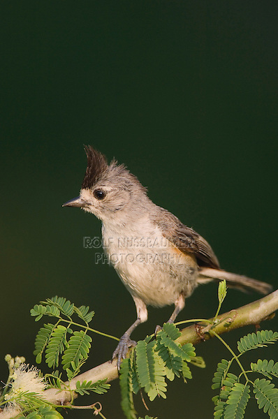 Black-crested Titmouse, Baeolophus atricristatus, adult, Willacy County, Rio Grande Valley, Texas, USA, June 2006