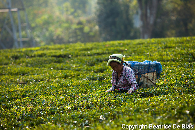 Fair Trade Worker Fair trad pluckers harvest tea leaves in Ambootia, Darjeeling