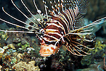 Milne Bay, Papua New Guinea; Spotfin Lionfish (Pterois antennata), to 20 cm (8 in.), live in coastal, lagoon and seaward reefs to 50 meters, found in E. Africa to Marquesas and Austral Island in French Polynesia, S. Japan to Australia , Copyright © Matthew Meier, matthewmeierphoto.com All Rights Reserved