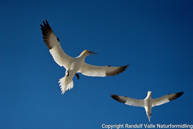 Havsule i flukt ---- Northern Gannet