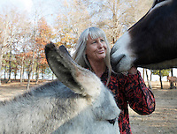 Deb Kidwell plays with Lake Nowhere Eden, left, and AMJR 1942 Sassafras, right, both American Mammoth Jackstock, on Saturday, Nov. 20, 2010 at Lake Nowhere Mule and Donkey Farm in Martin, Tenn. Kidwell breeds American Mammoth Jackstock, the only American breed of Ass, and one started by George Washington. With only an estimated 2,000 left in existence, the breed is dying off with the mechanization of farm equipment.