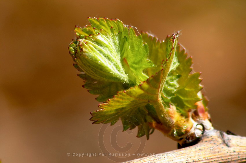 bud burst on the vine chardonnay batard-m puligny-montrachet cote de beaune burgundy france