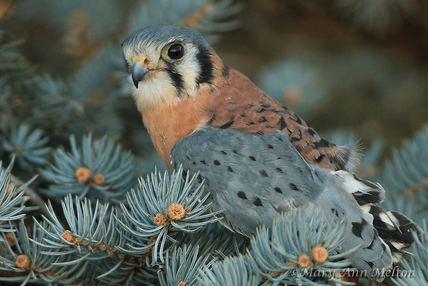 American Kestrel (Falco sparverius) Rocky Mountain Raptor Center